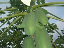 ¡Papaya con bucles!