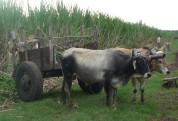 Disminuye el hurto de ganado en Puerto Padre