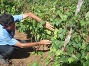 Inician fomento de frutales en Puerto Padre